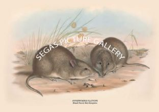 HYPSIPRYMNUS PLATYOPS - Broad-Faced Rat-Kangaroo
